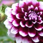 Il Messico ci porta un bellissimo fiore: la Dalia. Ecco come coltivarla!