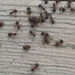 Prevenire e combattere l'invasione di formiche in casa
