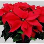 Come conservare e mantenere in salute la Stella di Natale