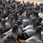 Invasi dai piccioni? Ecco come allontanarli!