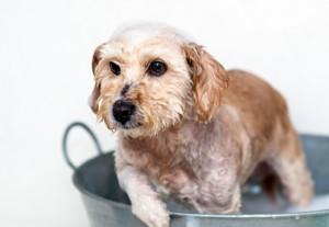 shampoo cane fai da te