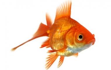 Come prendersi cura del nostro pesce rosso