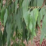 Effetti benefici dell'eucalipto