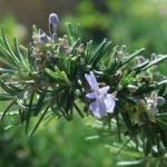 Il rosmarino, un ottimo rimedio naturale