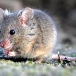 Come fare una trappola per topi
